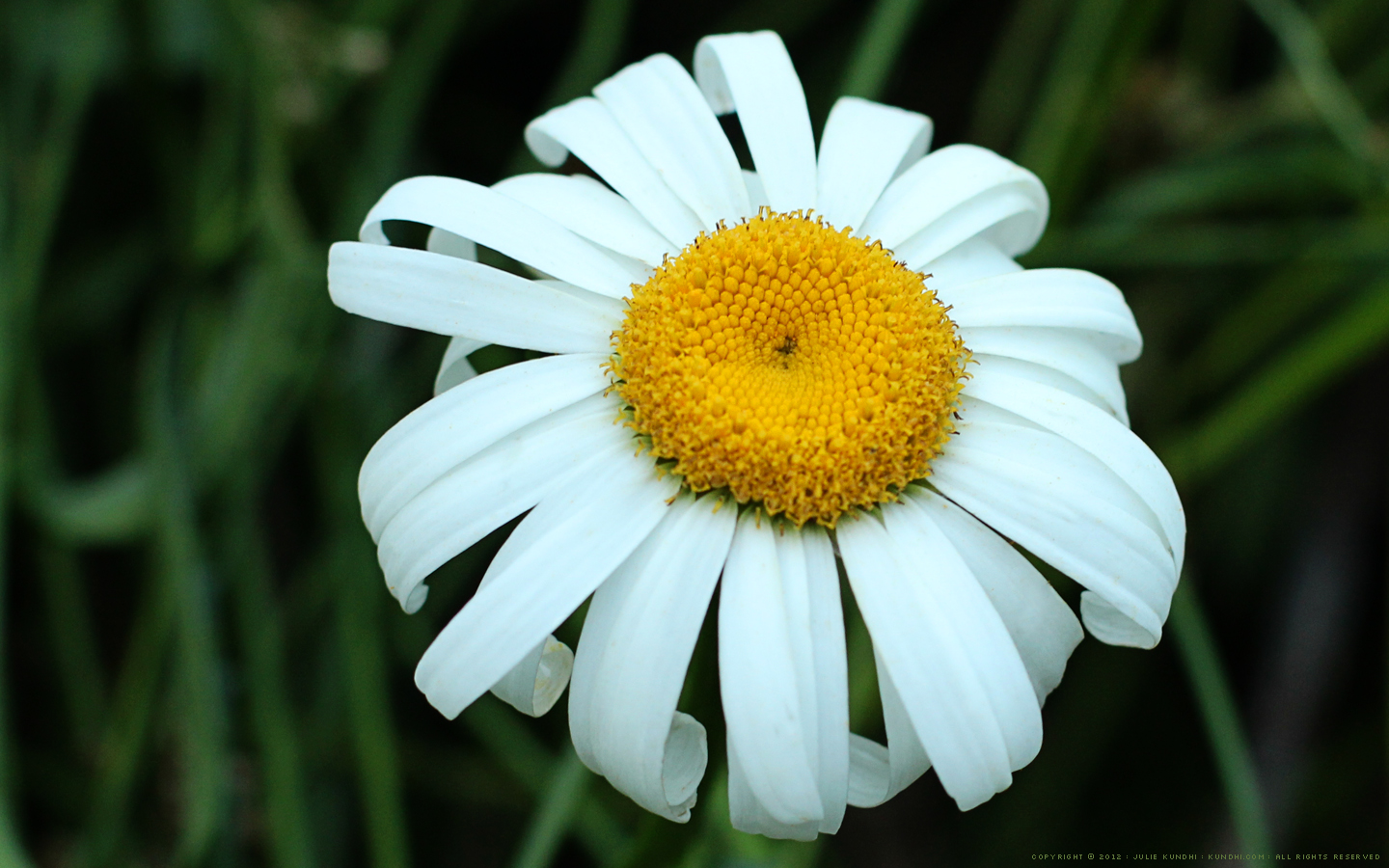 Daisy desktop background feel free to download and share izmirmasajfo